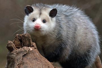 Possum-Control